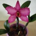 cattleya orchidea agyagból, 1 virággal, Dekoráció, Otthon, lakberendezés, Dísz, Festett tárgyak, Kerámia, cattleya orchidea agyagból   rendelhető: rózsszín, lila, narancssárga  Egy különleges, Thaiföldről ..., Meska