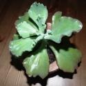 szobai pozsgás növény könnyűbeton edényben, Dekoráció, Otthon, lakberendezés, Dísz, Kaspó, virágtartó, váza, korsó, cserép, Mindenmás, Az amerikai kövirózsák egyik fajtáját, az Echeveria rubromarginatát ültettem saját készítésű könnyű..., Meska