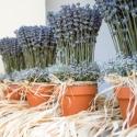 Cserepes levendula, nagy, Dekoráció, Dísz, Virágkötés, Saját termesztésű angol (nagyvirágú)levendula szárítva, terrakorra cserépben. Rafiával vagy színes s..., Meska