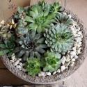 Szukkulensek, könnyített beton tartóban, Dekoráció, Otthon, lakberendezés, Kaspó, virágtartó, váza, korsó, cserép, Virágkötés, Szép formájú, félgömb alakú, könnyített beton tál, kövirózsákkal és varjúhájjal beültetve. Otthonok,..., Meska