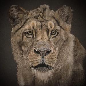 Oroszlán/Lion Zsűrizett festmény/Jury painting, Képzőművészet, Otthon & lakás, Festmény, Pasztell, Dekoráció, Festészet, Zsűrizett eredeti festmény/Jury painting\n(Minősítés/Rating code: TM-A-46/217/2018)\nFekete műanyag ke..., Meska