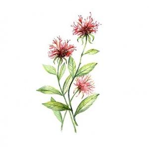 Méhbalzsam - Print (Akvarell) (BotanikAkvarell) - Meska.hu