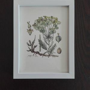 Vintage akvarell, Euphorbia/ Kutyatej, Dekoráció, Otthon & lakás, Kép, Képzőművészet, Festmény, Festészet, Fotó, grafika, rajz, illusztráció, Merített papírra tus és akvarell technikával készült botanikai kép. Jól illik többek között a vintag..., Meska