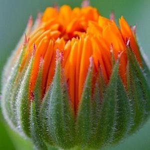 KÖRÖMVIRÁG OLAJ 100ml , DIY (leírások), Mindenmás, Szappankészítés, Ékszerkészítés, \nKÖRÖMVIRÁG OLAJ 100 ml \n\nAz orvosi körömvirág a fészkesvirágúak rendjébe, az őszírózsa félék család..., Meska