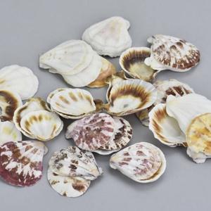 Shell kagyló 3 cm - 4 cm, Dekorációs kellékek, Egyéb kellékek, Vegyes alapanyag, Virágkötészet, Mindenmás, Decoupage, szalvétatechnika, Shell kagyló 3 cm - 4 cm  50gr/csomag kb.12-14 db\nPostázás a mindenkori Magyar Posta illetve futársz..., Meska