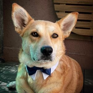Kutya-csokornyakkendő sötétkék, Öv & Pánt, Kiegészítők, Esküvő, Varrás, Egyedi tervezésű és készítésű, általam szabott és varrt elegáns kutya-csokornyakkendők esküvőre, alk..., Meska