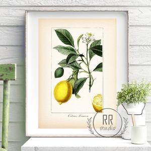 Citrom, Vintage Botanikai illusztráció, otthoni dekoráció falikép, KERET NÉLKÜL, Otthon & Lakás, Dekoráció, Falra akasztható dekor, Fotó, grafika, rajz, illusztráció, A4 Papír Print Nyomtatás \n\nBOTANIKAI ILLUSZTRÁCIÓ.\nA vintage hatásért textúrált, krémes-törtfehér mű..., Meska