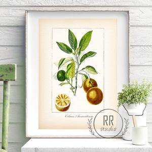 Narancs, Vintage Botanikai illusztráció, otthoni dekoráció falikép, KERET NÉLKÜL, Otthon & Lakás, Dekoráció, Falra akasztható dekor, Fotó, grafika, rajz, illusztráció, A4 Papír Print Nyomtatás \n\nBOTANIKAI ILLUSZTRÁCIÓ.\nA vintage hatásért textúrált, krémes-törtfehér mű..., Meska