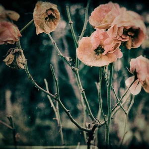 Fagyott rózsák - fotó, Fotográfia, Művészet, Fotó, grafika, rajz, illusztráció, 23 cm X 23 cm-es fotó, hagyományos, színes fotópapírra levilágítva.  A fotópapír mérete 28 cm x 28 c..., Meska