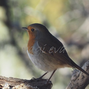 Vörösbegy madár fotó, Művészet, Fotográfia, Fotó, grafika, rajz, illusztráció, Vörösbegyről készített fotóm 18*24 cm méretben lett nyomtatva jó minőségű vastag ,fényes fotópapírra..., Meska