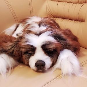 Életnagyságú, élethű Cavalier King Charles Spániel/ PRÉMIUM műszőrméből/ alvó plüss kutya, Gyerek & játék, Otthon & lakás, Játék, Plüssállat, rongyjáték, Varrás, Gyurma, Egy nagyon kedves hölgynek készült a képeken lévő Cavalier King Charles Spániel életnagyságú, életh..., Meska