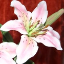 Cukorvirág rózsaszín liliom, Dekoráció, Esküvő, Esküvői dekoráció, Esküvői csokor, Mindenmás, Egyedi kézzel, drótozott technikával készített cukorvirág.Megtévesztésig hasonlítanak az eredetihez..., Meska