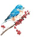 Vörösbegyű kékmadár - akvarell festmény, Képzőművészet, Festmény, Akvarell, Vörösbegyű kékmadár vagy keleti kékmadár (Sialia sialis) Festmény mérete: 10*15 cm (kerette..., Meska