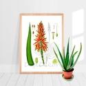 """Aloe vera, vintage illusztráció, növényes falikép, botanika, lakásdekoráció, gyógynövényes ajándék, Képzőművészet, Otthon, lakberendezés, Illusztráció, Falikép, Aloe vera növényt ábrázoló print, vintage illusztráció.  Az eredeti, szkennelt képet digitálisan """"me..., Meska"""
