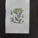 Euphorbia/ Kutyatej, Dekoráció, Képzőművészet, Kép, Festmény, Festészet, Fotó, grafika, rajz, illusztráció, Merített papírra tus és akvarell technikával készült botanikai kép. Jól illik többek között a vinta..., Meska