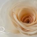 Átmenetes rózsa (barack) - bross/hajcsat, Esküvő, Hajdísz, ruhadísz, Kézzel szabott és varrt GEMMAROSES-rózsa.  Belül barack, kívül ekrü.    Átmérője kb. 9-10cm.  Hátold..., Meska