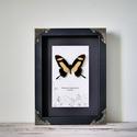 Papilio torquatus keretezett lepke, pillangó, Dekoráció, Mindenmás, Ez a 8 cm-es szárnyfessztávolságú, sárga és fekete színekben pompázó pillangó Argentínában és Mexik..., Meska
