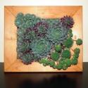 pozsgás élőlép kövirózsákból, Saját termesztésű, különböző színű és fo...