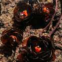 Barna virág szett pet palackból készült újrahasznosított fülbevaló, gyűrű és medál, Ékszer, Medál, Nyaklánc, Barna pet palackból aprólékos munkával készített virág formájú fülbevaló, gyűrű és medál.  A fülbeva..., Meska