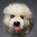 Fehér pompom kutya, Dekoráció, Dísz, Aranyos fehér színű Bichon kutyus gazdit keres.  Fehér mohair fonalból pompom készítő techni..., Meska