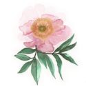 Falikép: Rózsaszín peónia akvarell - art print (akvarell festményem alapján), Képzőművészet, Illusztráció, Festmény, Akvarell, Falikép: Rózsaszín peónia akvarell - art print (akvarell festményem alapján)  Méret: 21 x 29,7 cm (A..., Meska