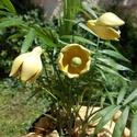 Csengő-bongó sárga virágok, Dekoráció, Otthon, lakberendezés, Dísz, Fehérre égő agyagból készítettem ezeket a virágokat.  Mázazott,kétszer égetett kerámiák. A  virágok ..., Meska
