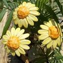 Sárga virágok, Dekoráció, Otthon, lakberendezés, Dísz, Fehérre égő agyagból készítettem ezeket a  virágokat.  Mázazott,kétszer égetett kerámiák.A virágok á..., Meska