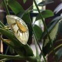 Szászorszép (nagy) gyűrű, Ékszer, Gyűrű, Ékszerkészítés, A félgömb alap, amelybe a szárított viárgot tettem átmérője kb 2,5 cm. A gyűrű arany színű, állítha..., Meska